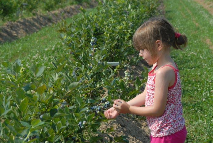 Jong meisje plukt blauwe bessen
