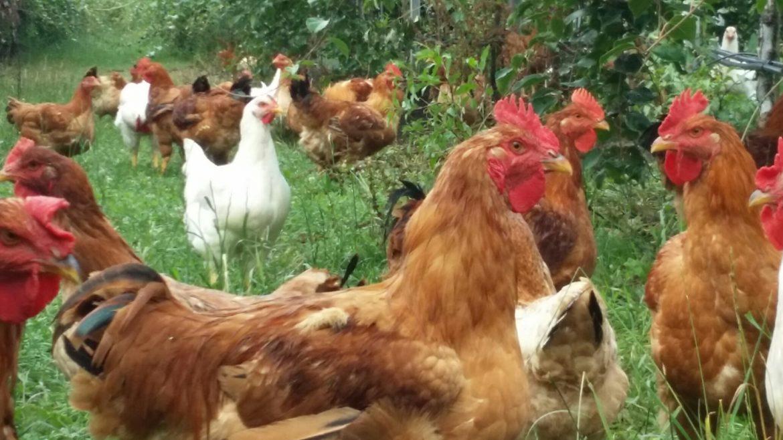 Biologische sasso kippen